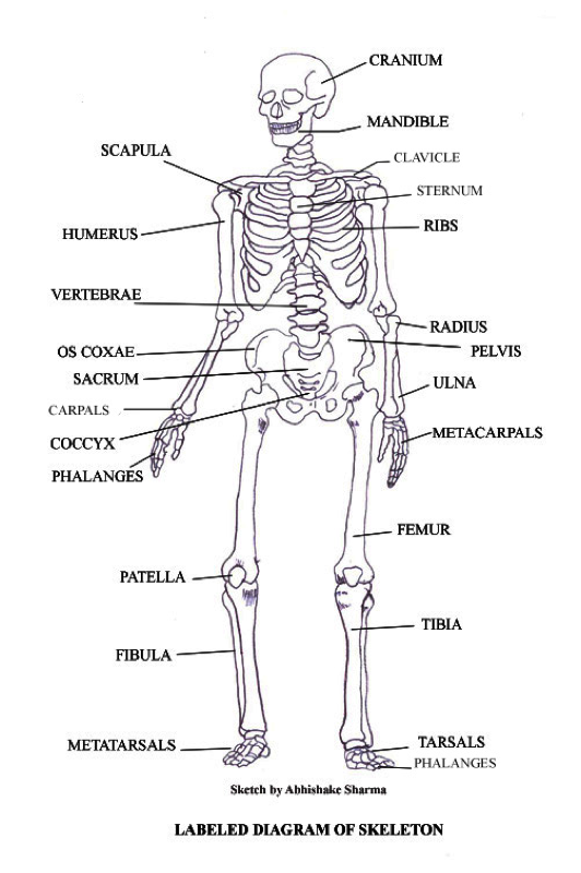 5fchronicle licensed for noncommercial use only Skeletal – Skeletal System Diagram Worksheet